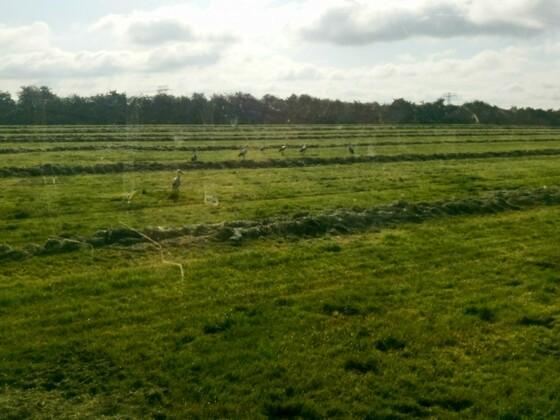 Adebar bei der Grasernte