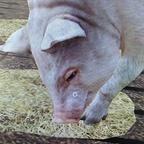 Meine erstes schwein